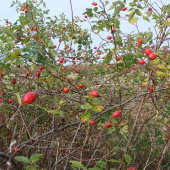 Колючие кустарники для живой изгороди на участке и в саду
