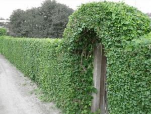 Формирование зеленого забора