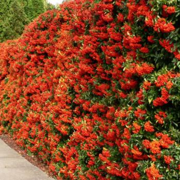 Кусты для живой изгороди морозостойкие и быстрорастущие, используемые растения для них