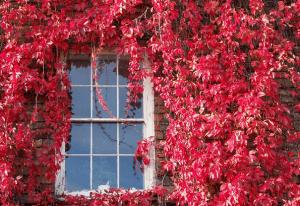 Дикий виноград: как сажать самостоятельно, все тонкости процесса и возможные ошибки