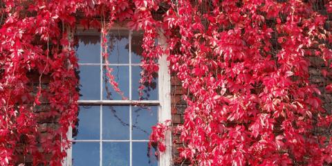 Дикий виноград осенью